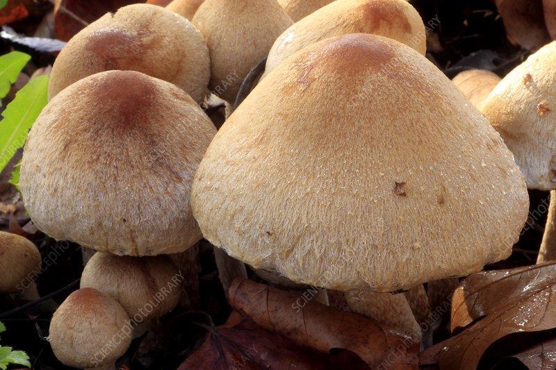 Weeping widow mushrooms