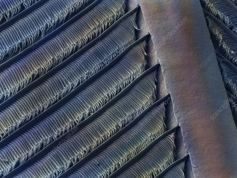 Wing feather detail of swallow SEM