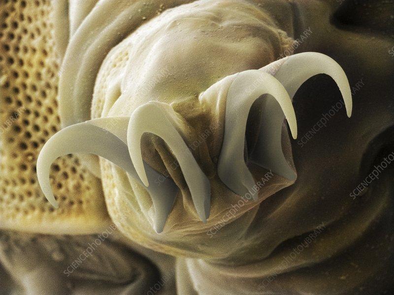 Tardigrade or water bear foot SEM