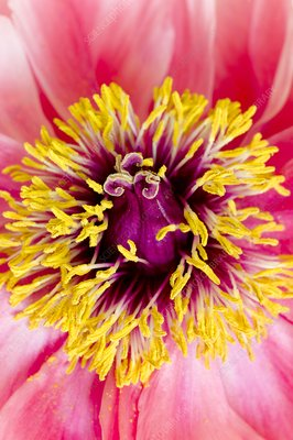 Centre of a hybrid tree peony flower
