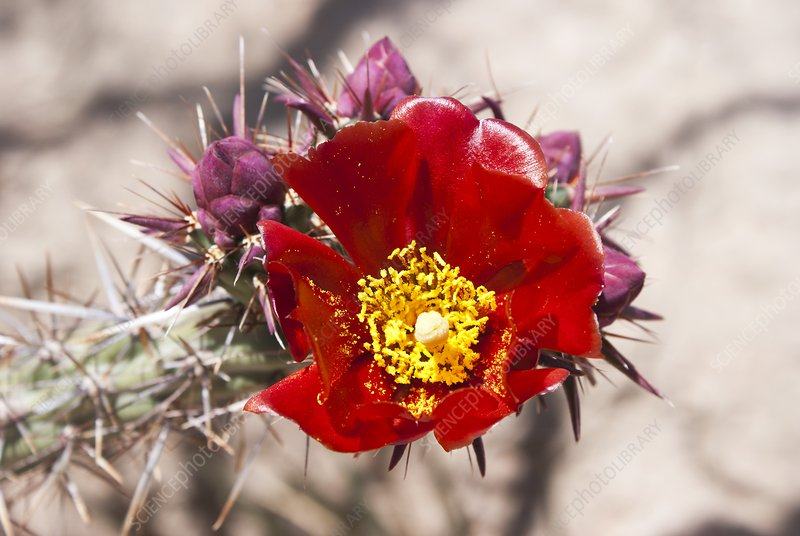 Red flower on spiny cactus