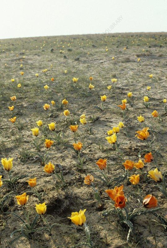 Tulips (Tulipa sp.) in flower