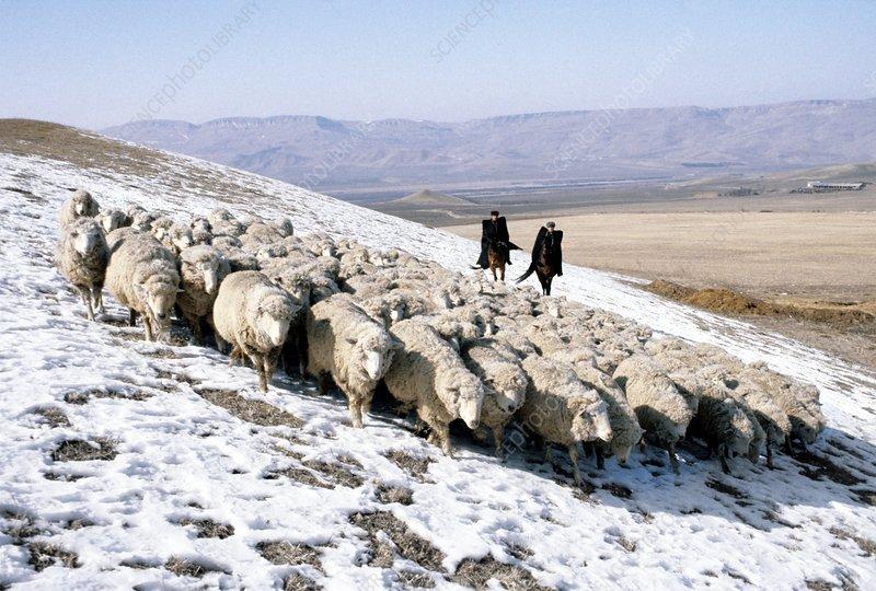 Sheep flock, Mongolia