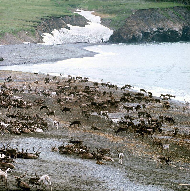 Reindeer herd, Russia