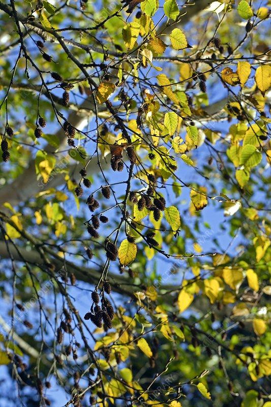 Birch (Betula costata)