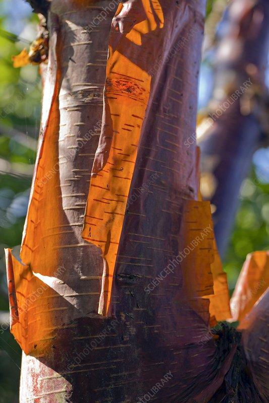 Himalayan Birch (Betula utilis)