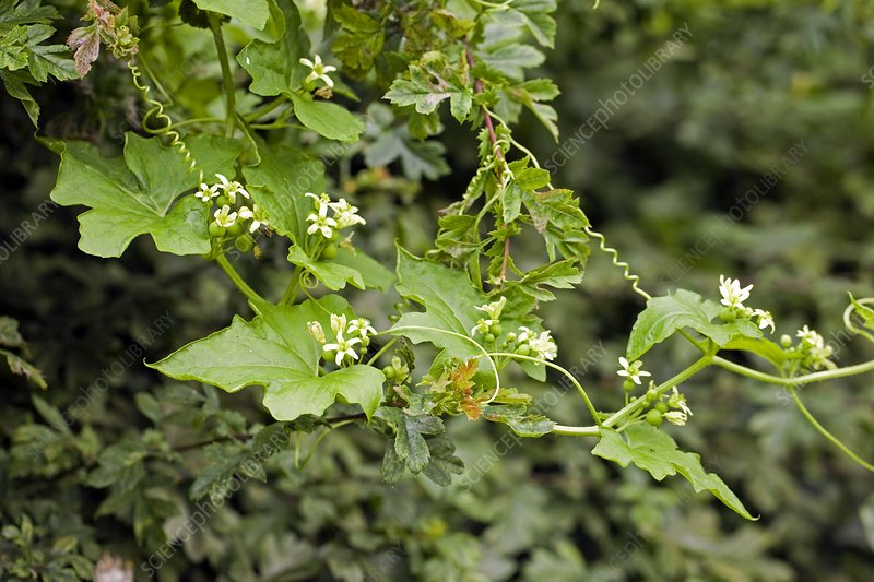 White Bryony (Bryonia dioica)