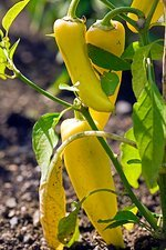 Capsicum annuum 'Inferno Hot Peppers'