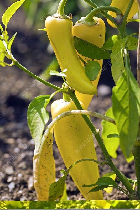 Capsicum annuum 'Inferno Hot Peppers'