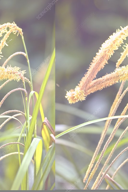 Pendulous Sedge (Carex pendula)