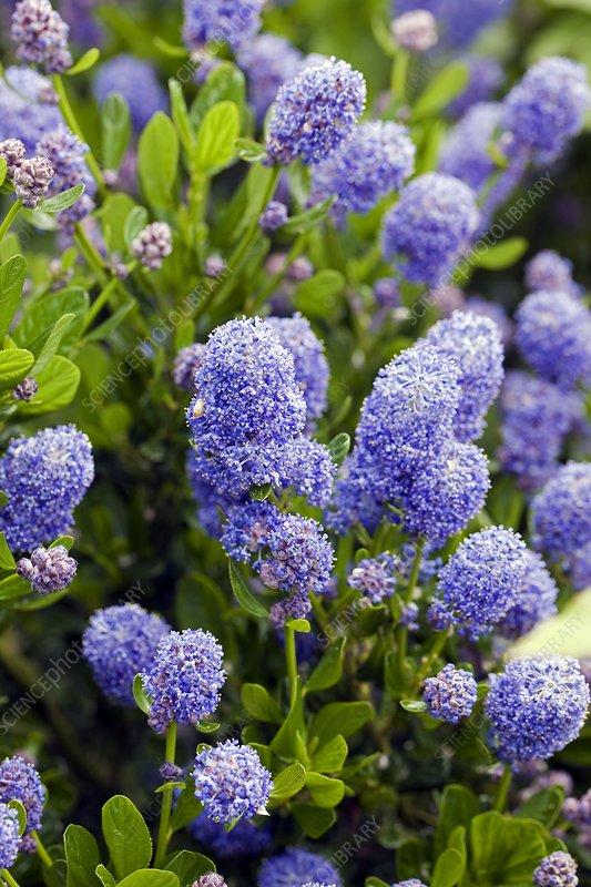California Lilac (Ceanothus sp.)