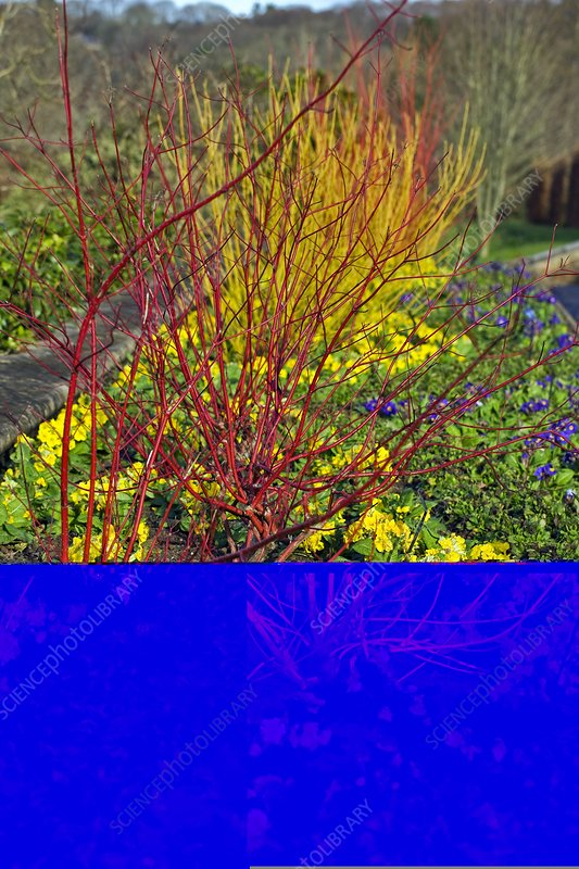 Dogwood (Cornus alba 'Sibirica')