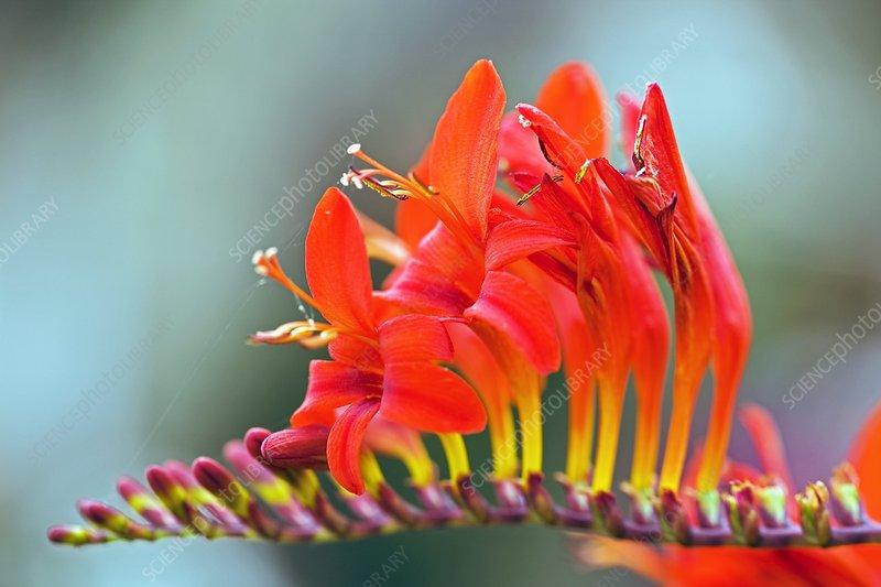 Montbretia (Crocosmia sp.)