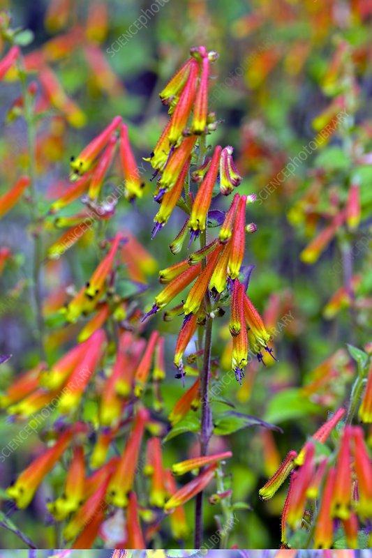 Cuphea cyanea