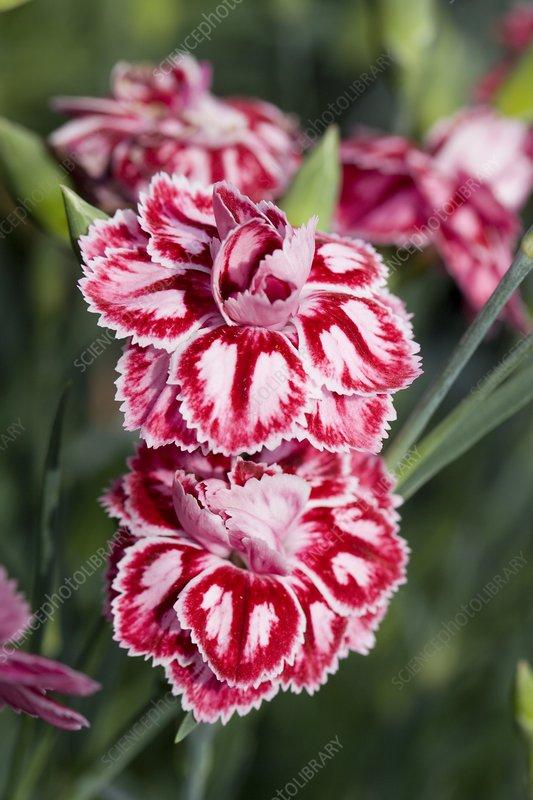 Carnation (Dianthus 'Starburst')