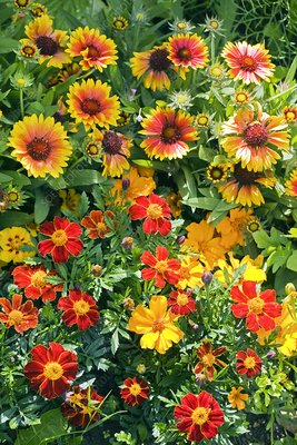 Gaillardia x grandiflora and Tagetes sp.