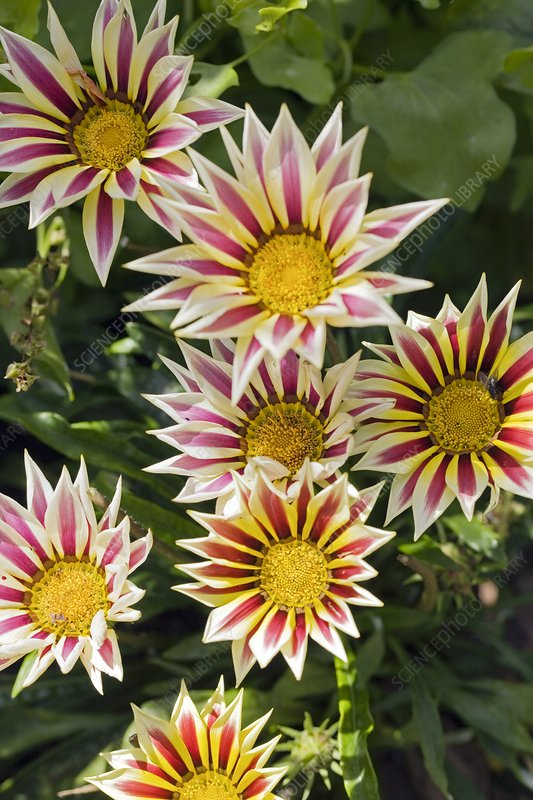 Gazania 'Sunrise Mixed'