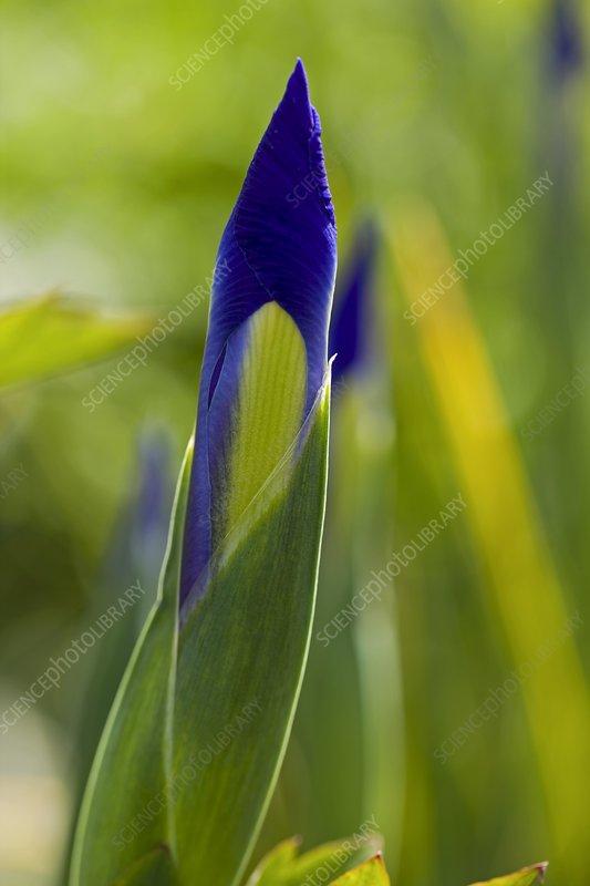Iris sp. in bud