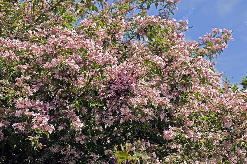 Kolkwitzia amabilis 'Pinkcloud'