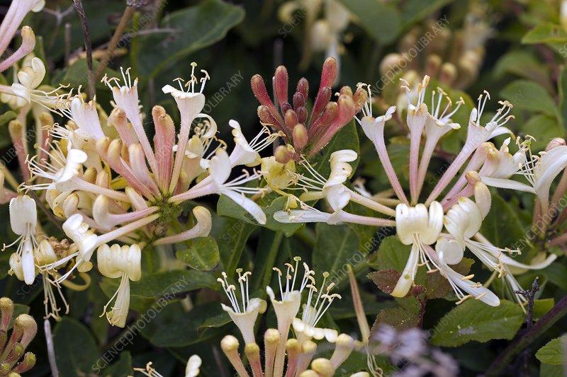 Honeysuckle (Lonicera pericylmenum)