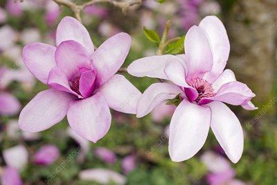 Magnolia 'Marwood'