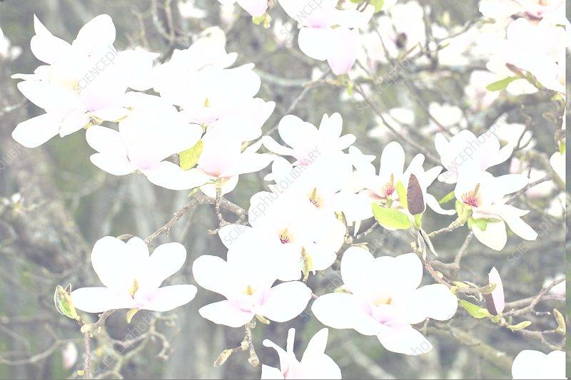 Magnolia sp