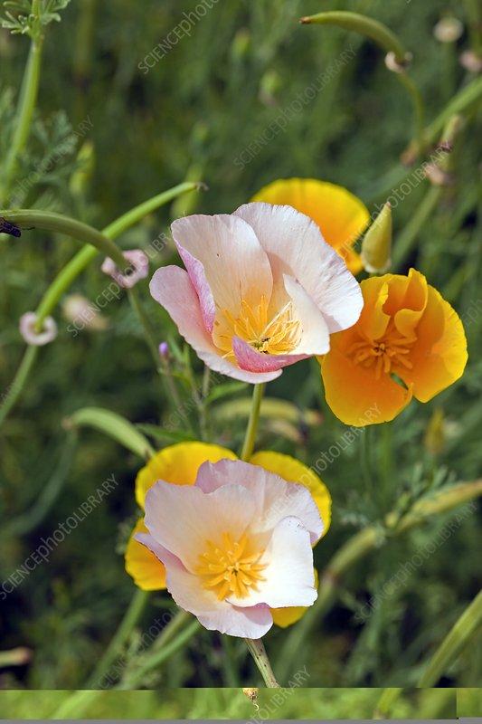 Poppy (Mecanopsis sp.)