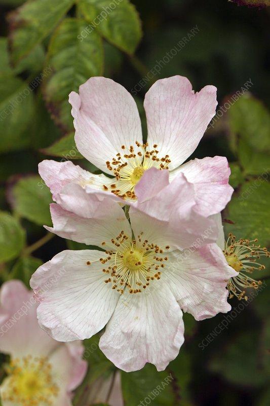 Dog Rose (Rosa canina)