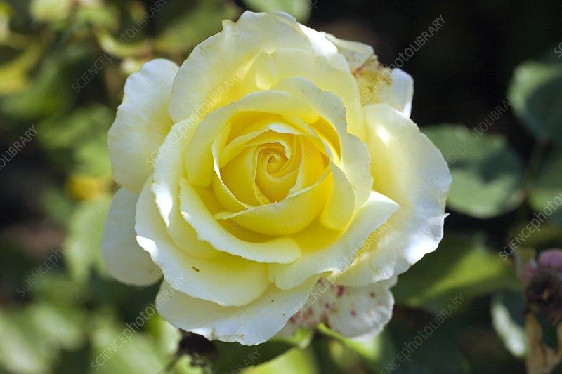 Rose (Rosa Elin 'Dicjama')