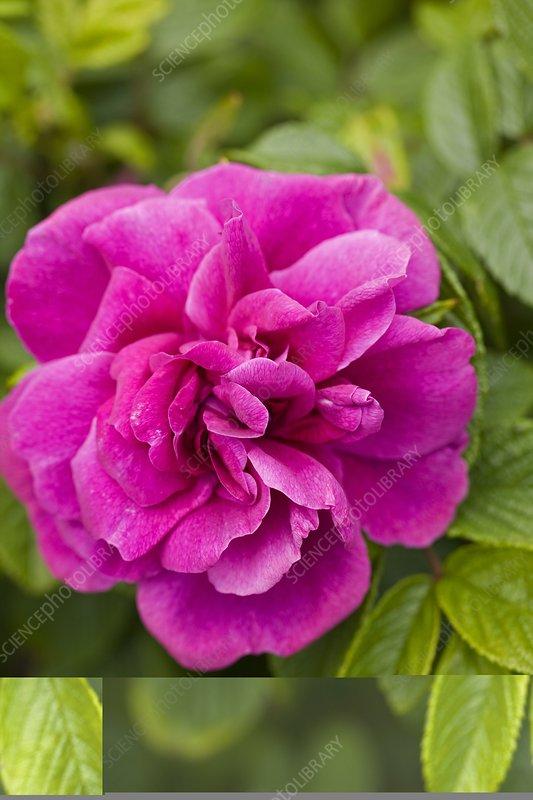 Rose (Rosa gallica var officinalis)