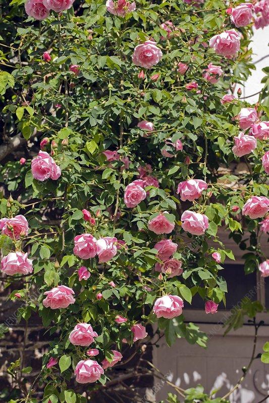 Rose (Rosa 'Madam Gregoire Staechelin')