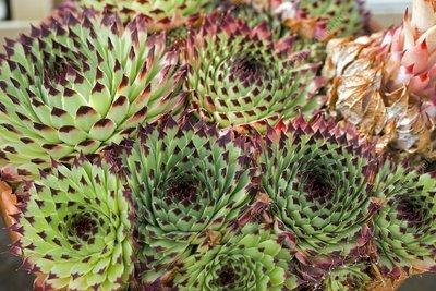 Houseleek (Sempervivum calcareum)