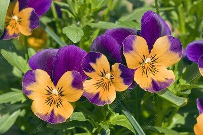 Viola x wittrockiana Jocker Series