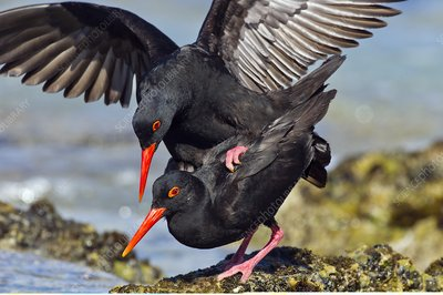 African black oystercatchers mating