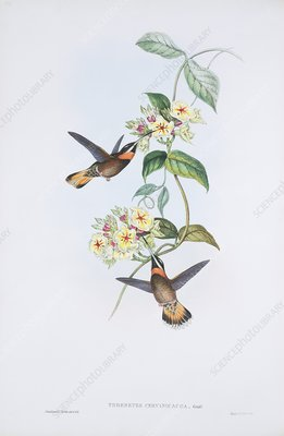 Pale-tailed barbthroats, artwork