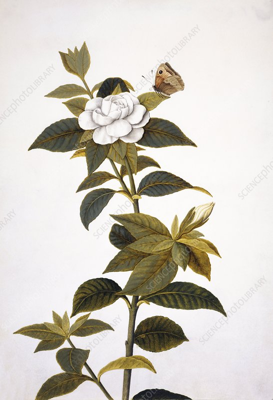 Gardenia and butterfly, 18th century