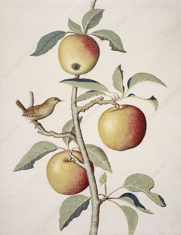 Apple tree and wren, 18th century