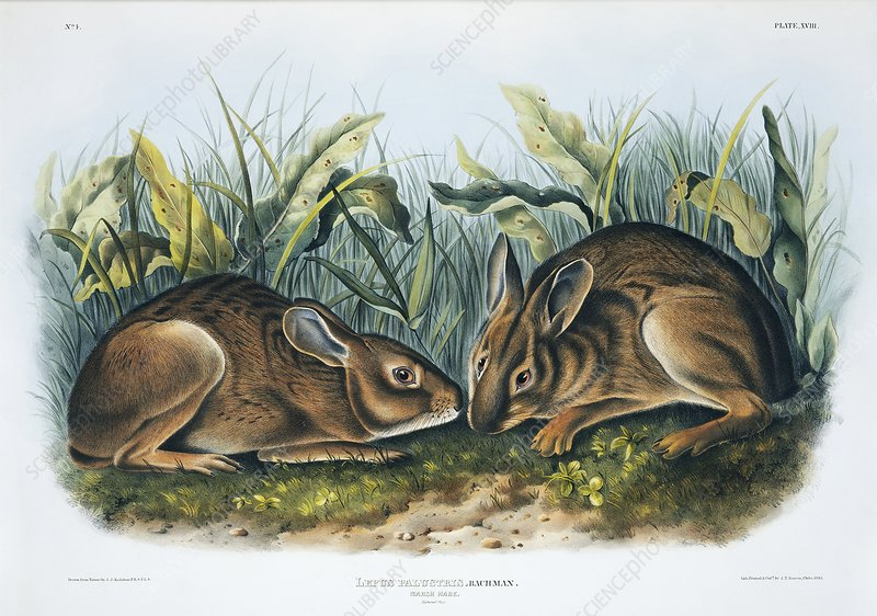Marsh rabbits, 19th century