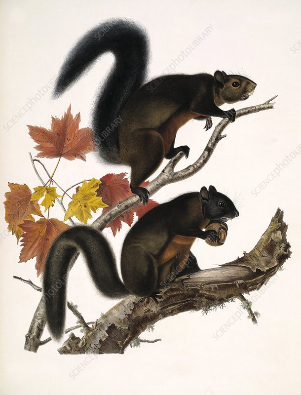 American squirrels, 19th century