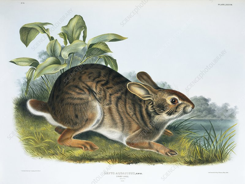 Swamp rabbit, 19th century