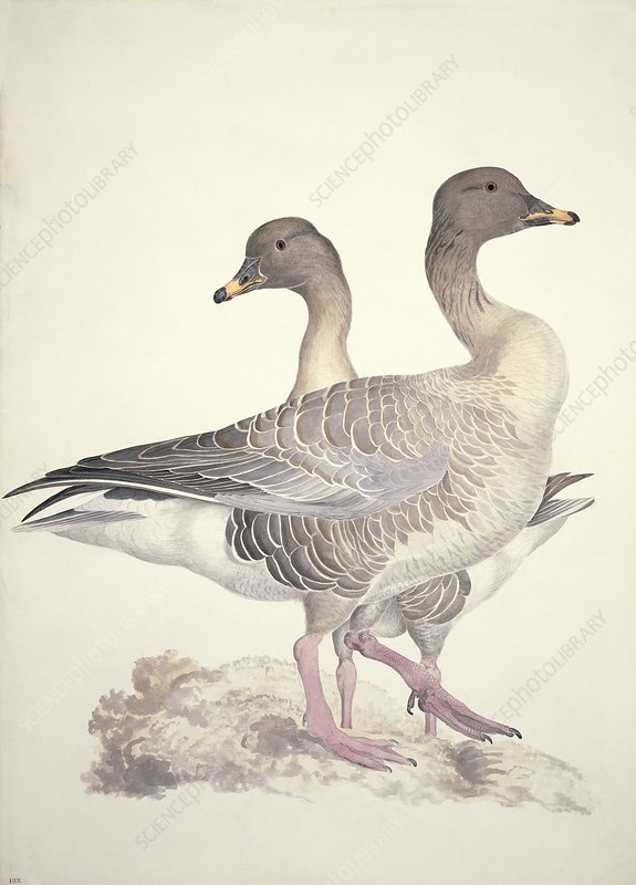 Bean goose, 19th century