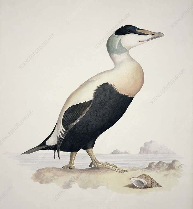 Common eider, 19th century
