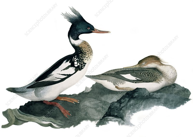 Red-breasted merganser, 19th century