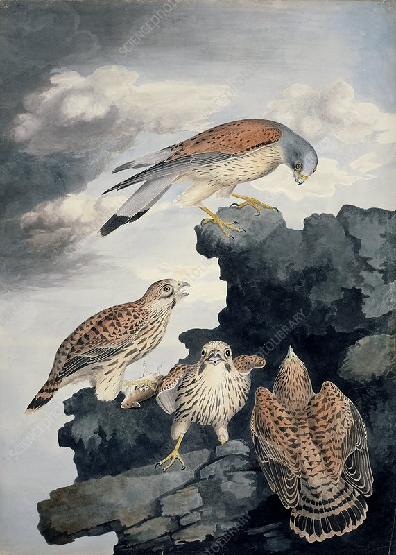 Common kestrel, 19th century