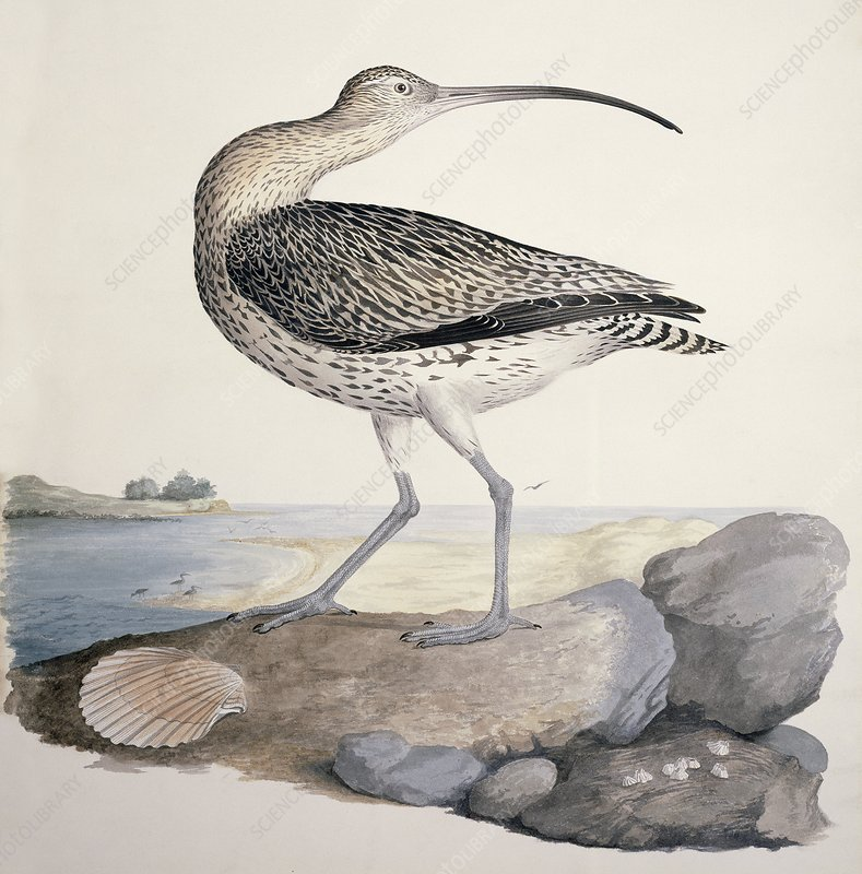 Eurasian curlew, 19th century