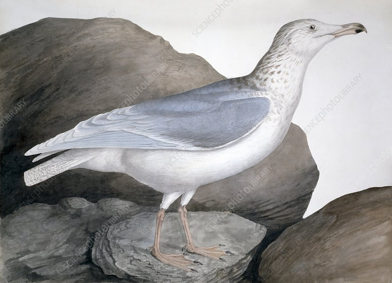 Glaucous gull, 19th century