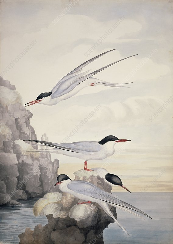 Common tern, 19th century