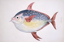 Opah, 19th century artwork