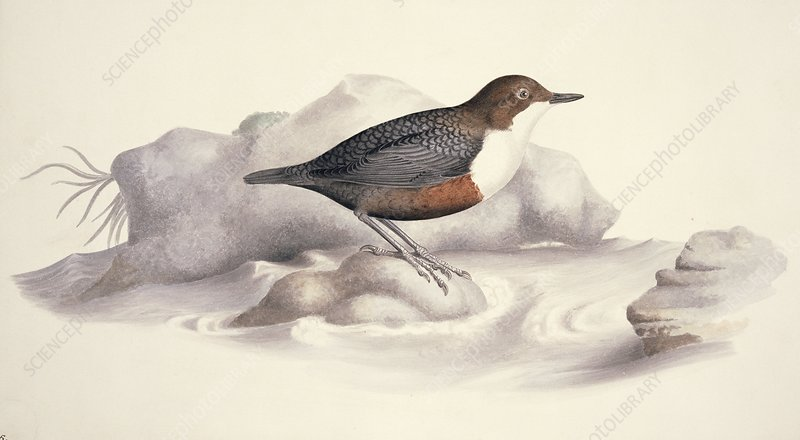 White-throated dipper, 19th century
