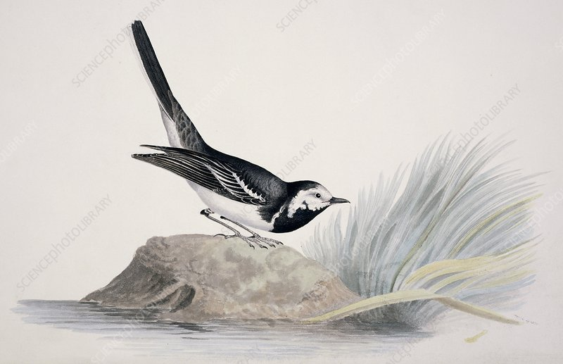 Pied wagtail, 19th century